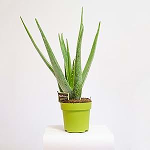 aloe vera zimmerpflanze heilpflanze 45cm garten. Black Bedroom Furniture Sets. Home Design Ideas