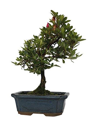 """Pflanzenservice  Japanische Azalee Rhododendron indicum """"Osakazuki"""", Bonsai, circa 25-30 cm hoch"""
