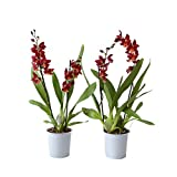 BOTANICLY | Orchidee | Cambria Burrageara | 50 cm | Set di 2 piante