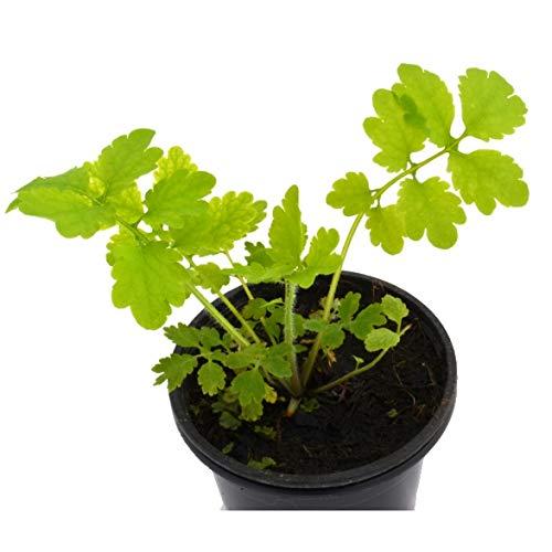Verruguera o Celidonia 10cm Planta Natural Chelidonium Majus