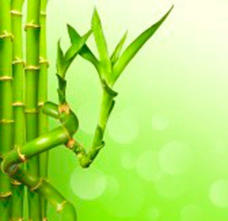 Caña bambú espiral 30 cm - Planta viva interior