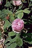 Rosa centifolia muscosa, Historische Moosrose im 4 L Container
