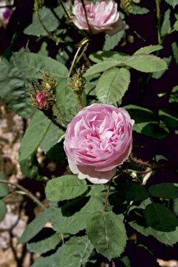 Historische Strauchrose centifolia muscosa im 4 L Container