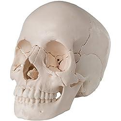 3B Scientific A290 Modelo de anatomía humana Cráneo desmontable, Versión Anatómica, En 22 Partes