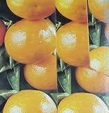 Citris mitis calamondin Orangenbäumchen 15-20 cm +/-
