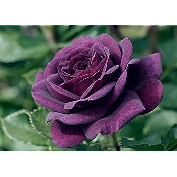 4lt Potted Floribunda Garden Rose Bush EBB Tide Highly Fragrant Gorgeous Purple//Blue Blooms Very Unusual