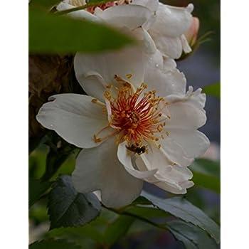 weiß-zartrosa Strauchrose Jacqueline du Pré® Rosa Jacqueline du Pré Duft+