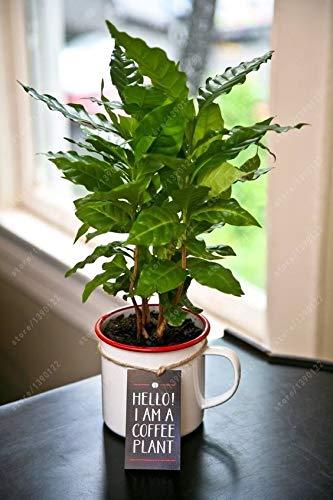 Portal Cool 20 PC/Beutel Kaffeebohnen Samen Green Food Bio-Fruchtsamen Gemüse Refreshi