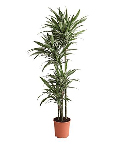 Dehner Drachenbaum White Stripe, viertriebig, ca. 170-180 cm, Ø Topf 27 cm, Zimmerpflanze