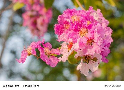 Tabebuia impetiginosa Trompetenbaum 5 Samen