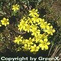 Winterling - Eranthis hyemalis von Baumschule auf Du und dein Garten