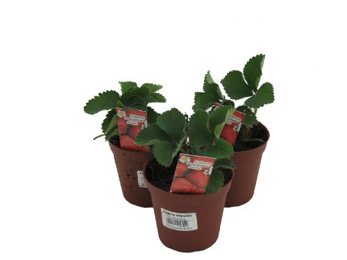 3 Pflanzen Senga Sengana, Erdbeere, Erdbeerpflanze im 9cm Topf