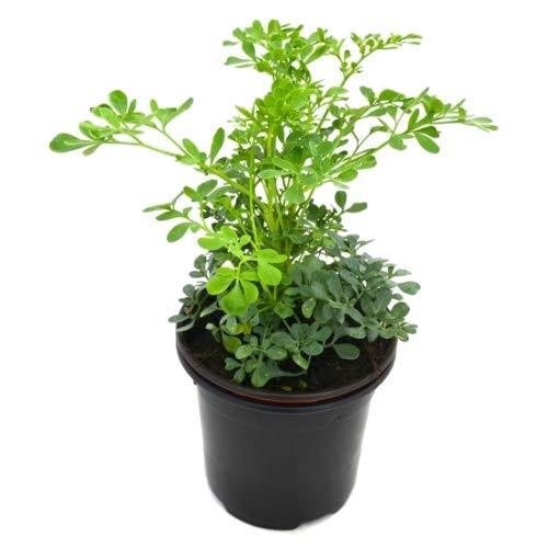 Ruda Común 10cm Planta Natural Maceta Pequeña Ruta