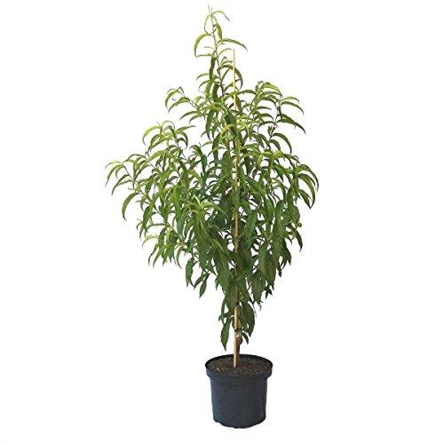 Müllers Grüner Garten Shop Nektarinenbaum Fantasia, saftig süße Nektarine 120-150 cm kräftiger Buschbaum im 10 Liter Topf