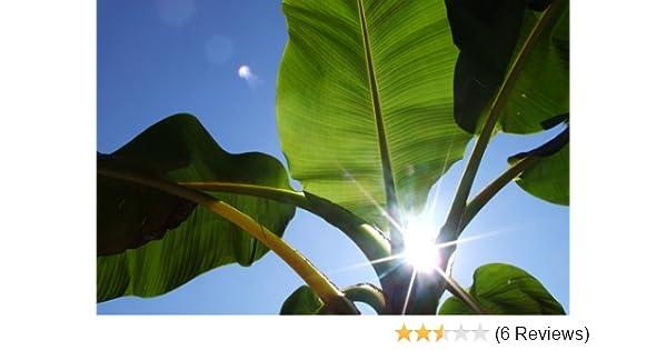 Musa sikkimensis /'Manipur/' 5 Samen Himalaja-Banane