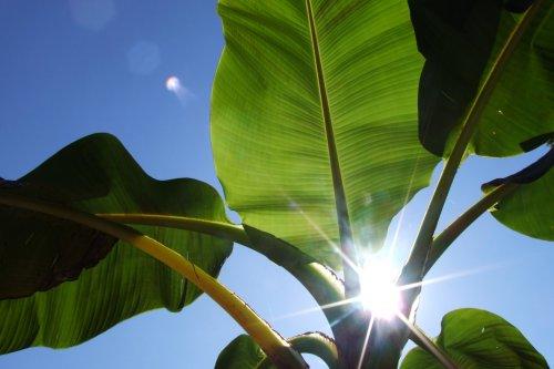 Seedeo Darjeeling-Banane (Musa sikkimensis) 10 Samen (Banane Baum Stehen)