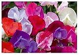 30x Duftwicke Old Sweet Scent Mix - Gomphrena Samen Blumen Garten K46