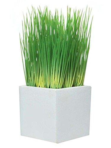 Immergrün Immergrün Gräser