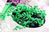 Pearl chlorophytum