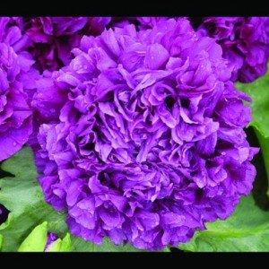 Mohn, Schlafmohn 'Lila Paeony' 30 Samen - Papaver somniferum (Poppy Purple Peony) (Somniferum Mohn)