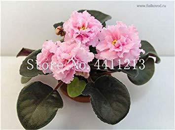 100 PC heiße Mix Farbe erhältlich Violet Bonsai für das Betrachten Blume-Abend-Scented Auf Violet DIY Hausgarten Pflanze: 17 -