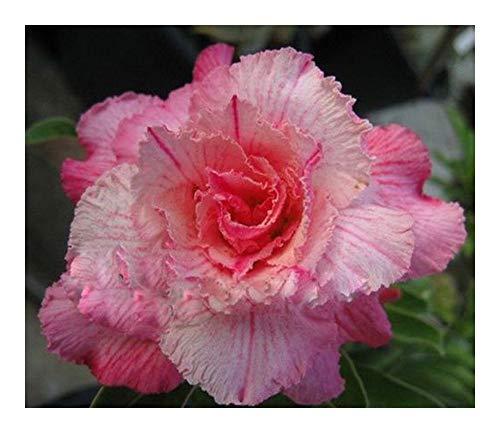 Adenium obesum Pinkpanter - Rose du désert - Faux baobab - 2 graines
