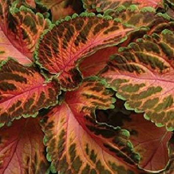 Farmerly 50 Seeds of Coleus Wizard Coral Sunrise Seeds