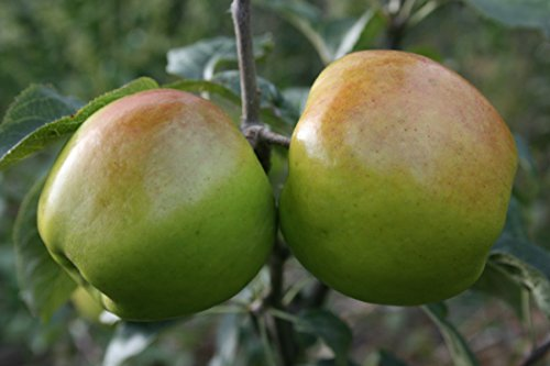 dwarf-patio-cooking-apple-tree-bountiful-fruit-tree-for-pots-or-small-gardens