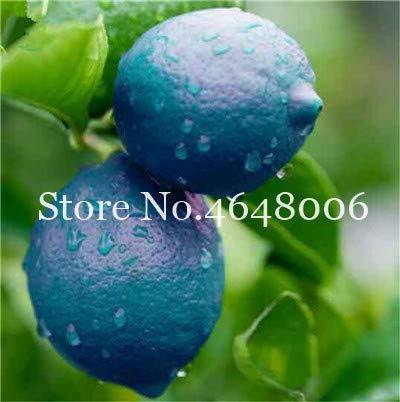 Bloom Green Co. 20 Stück Zitrone Bonsai New DrawF Baum Bio-Obst für Hausgarten liefert einfache Exotic Citrus Bonsai Topfbaum Fresh Anlage wachsen: 12 -