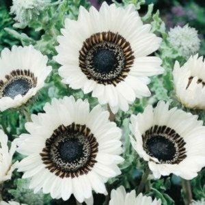 SONNENBLUME 50 Samen, WEISS ASTER, Venidium fastuosum (Daisy Cape White) Daisy Und Sonnenblume