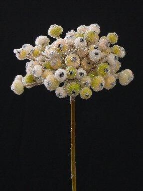 Feuerdorn Schnellwachsend (über 40 cm)