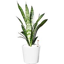 EVRGREEN Bogenhanf | Schwiegermutterzunge | Zimmerpflanze in Hydrokultur | im Set inkl. Keramiktopf (weiß) | sansevieria trifasciata zeylanica