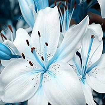 200pcs / lot Multi Color spécial Lily Graines de plantes en pot Bonsai usine Lily Graines de fleurs pour la maison Jardin Types de graines de fleurs rouges