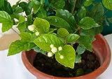 AGROBITS 20 semillas/pack balcón en maceta semillas de flores de jazmín fáciles para plantar semillas temporadas de siembra semillas de flores de jardín de flores perennes: 4