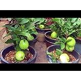 Vamsha Nature Care Live Dwraf Seedless Honey Guava Fruit Plant