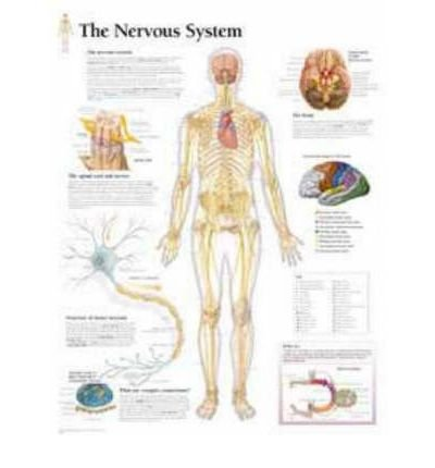 muscular-system-with-male-figure-paper-poster-author-scientific-publishing-company-published-on-marc