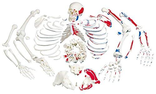 3B Scientific  D10/5 Modelo de anatomía humana Molar Superior - 3B Smart Anatomy