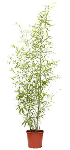 outlet-garden-bambu-phyllostachys-cana-natural-altura-13-metros-aproximado-contenedor-25-cm-envios-s
