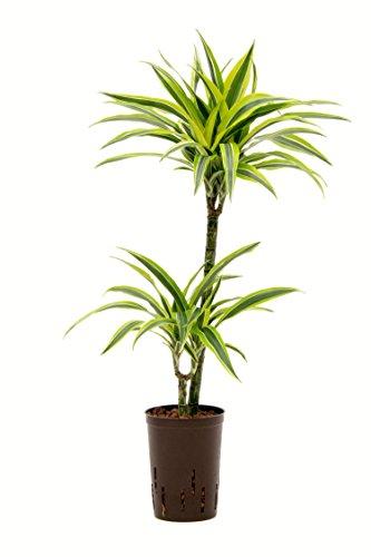 Drachenbaum, Dracaena deremensis Lemon Lime, Zimmerpflanze in Hydrokultur, 15/19er Kulturtopf, 80 - 90 cm