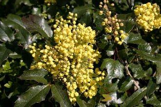 10 Stk. Mahonie - (Mahonia aquifolium)- Containerware 30-40 cm