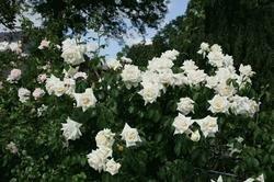 Kletterrose 'Ilse Krohn Superior' -R- A-Qualität Wurzelware von Rosen-Union auf Du und dein Garten