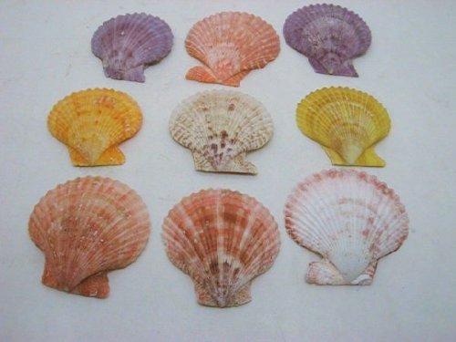 Schreiber Deko 20 Stück/Muschel Pecten Nobilis/ferschiedene Farben / 5-7 cm Nobilis-shell