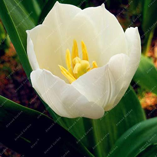 Shopmeeko GRAINES: 2 pièces National Fleur Tulipe de vivaces Jardin Plantes nombreuses variétés Bonsai colorés cadeaux de haute spécification Fleurs: 2TulipsWhite