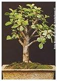 TROPICA - Albero di giada (Crassula arborescens) - 50 Semi- Bonsai