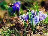 100 pcs Crocus Safran Graines, Iran Safran, (Non Safran Bulbes), Graines de Fleurs, Heureux Joie Fleurs, Bonsai Plante en Pot pour Jardin: 16