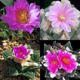 Ariocarpus Mix - Kaktus - Kakteen - 10 Samen - Kaktus Mix