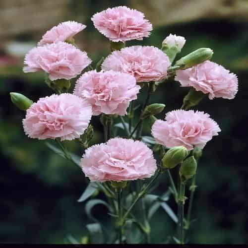 Tomasa Samenhaus- 50pcs Blume Dianthus Blumen Samen, Blüten Multicolor Blumensamen Saatgut winterhart mehrjährig Dianthus Samen für Barkon, Garten