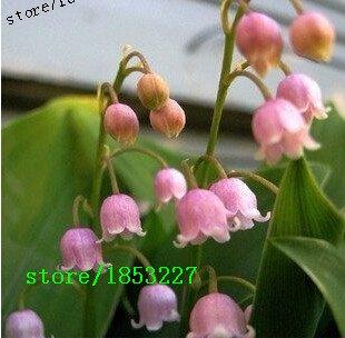 nuovi-100pcs-orchidea-della-campana-semi-del-giglio-dei-semi-flower-valley-aroma-ricco-bonsai-seme-d