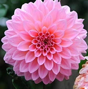 Sellify Mr. seeds Un paquet de 100 pièces Pink Dahlia Graines Dahlia Belles jardins Bonsai Graines de plantes