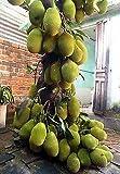 Shop 360 Live Jackfruit Tree